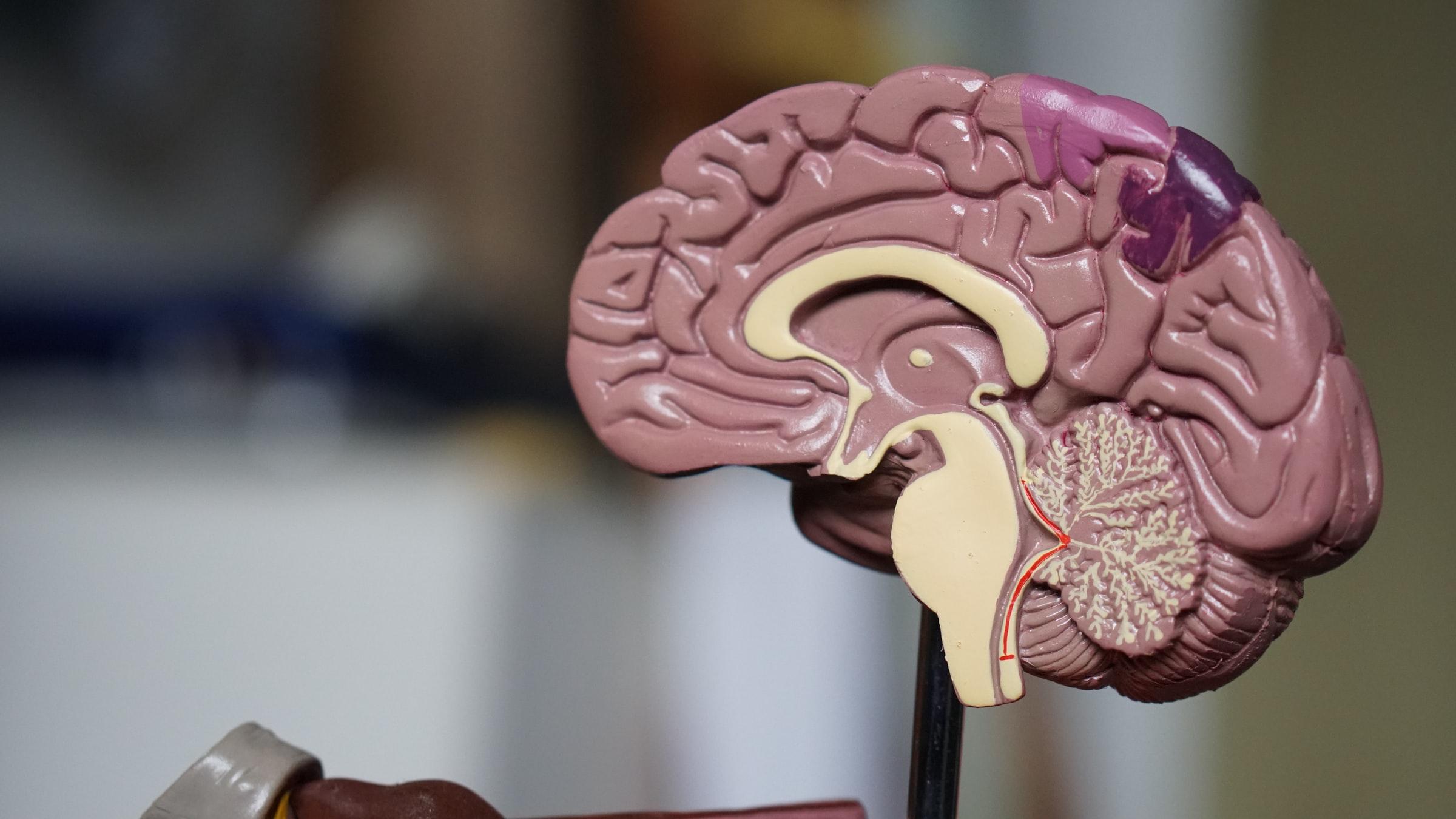 model van de hersenen